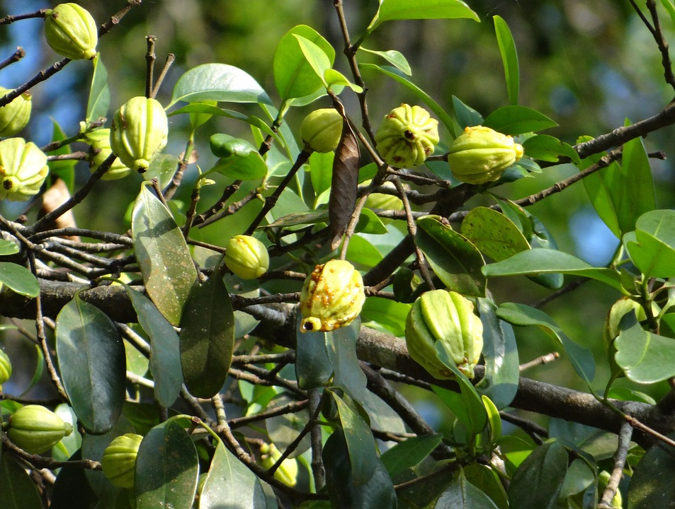 Tree of Garcinia Cambogia