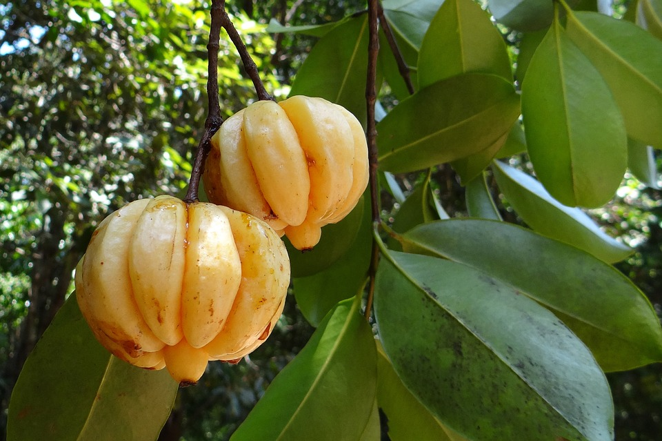 cambogia fruits